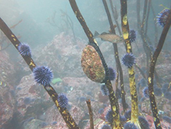 Several urchins and single abalone attached to kelp stalks underwater with large rocks in background