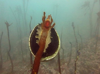 Abalone attached to top of kelp stalk underwater.