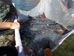 People holding white net in water with several kokanee salmon in net