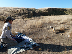 Woman in CDFW uniform kneeling on a blanket with tools while looking at a San Joaquin Kit Fox about 5 feet away