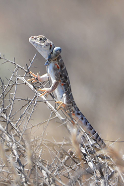 Lizard wearing a radio collar on a twig