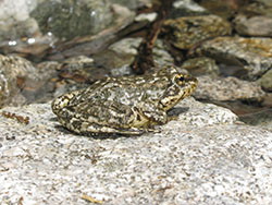 Frog resting on rock