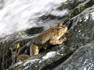 Frog resting on water-slicked rock with water rushing in background