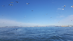 Flocks of sea birds flying above large bay with boats, bridge, and hills in distant background