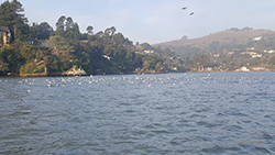 Hundreds of sea birds floating on water with docks and homes on hills in background.