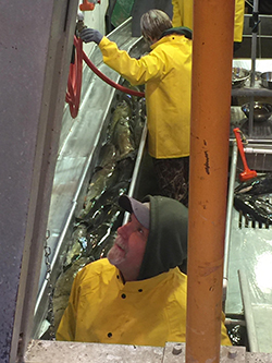 Two people in yellow rain jackets in hatchery facility alongside fish chute filled with fish.