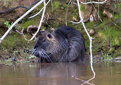Large brown furry rodent  with long whiskers and small ears holding front paws to mouth and sitting in water at steep, mossy bankline