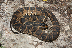 Dark brown and brown striped snake curled up on gray ground.