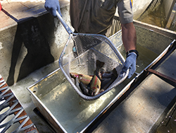 Person wearing blue gloves holding net with fish over metal basin with water.