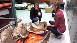 2 female forensic specialists crouch, looking at tusk