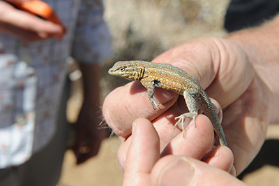 Small brown, gray, and blue speckled lizard on man's hands