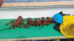 One large spiny lobster and four smaller lobsters lined up on green mat on side of boat.