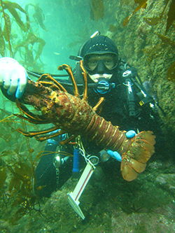 Scuba diver next to rocks and kelp underwater holding up spiny lobster and calipers.