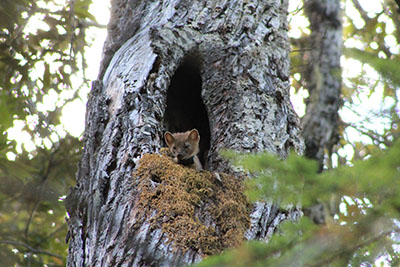 Marten wearing black collar looking down from a tree hollow