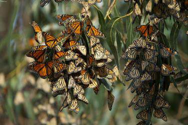Dangling tree branches covered in orange monarch butterflies