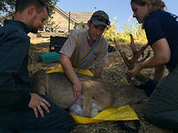 Large restrained male deer laying on yellow tarp outside while woman holds head and antlers as man places stethoscope over deer's heart and another man looks on.