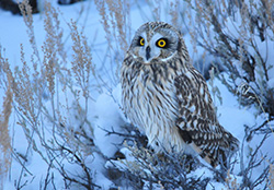 Owl on snowy ground
