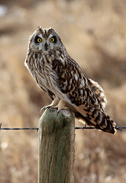 Owl perched on wooden fence post for barbed wire fence.