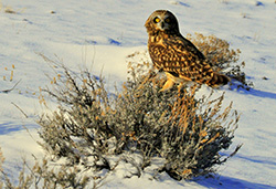 Owl on snow-covered ground with low bush in foreground