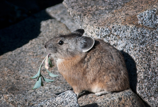 Closeup of small brown and gray rodent atop rocks chewing on leaves