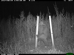 Trail cam image of a porcupine between two upright posts at night