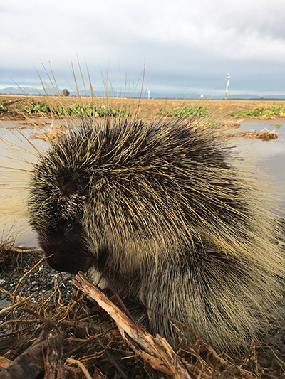 CDFW Pilot Study Establishing Foundation for Enhanced Study of Porcupines