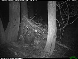 Trail cam image of a porcupine on ground amongst trees at night
