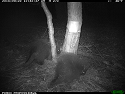 Trail cam image of two porcupines near tree at night