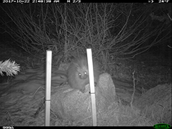 Trail cam image of a porcupine on top of rock behind two upright posts at night