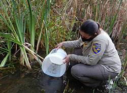 scientist releasing fish in a creek next to tall weeds - click to enlarge in new window
