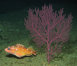 Orange fish with very few white dots in dorsal region underwater next to large pinkish red sea plant