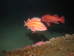 Red and orange fish with spiny dorsal fin underwater. Red fish in background.