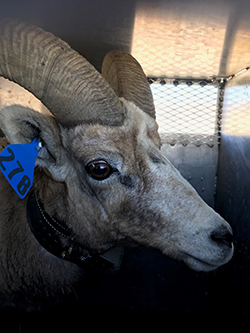 Bighorn sheep with blue ear tag and collar
