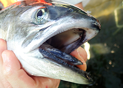 Close up shot of salmon with mouth open wide while held in hand
