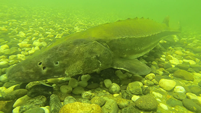 Underwater photo of a green sturgeon swimming along rocky river bottom.