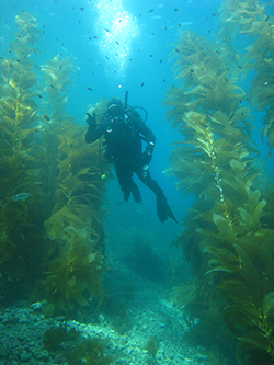 Scuba diver underwater with kelp forest and small fish surrounding.