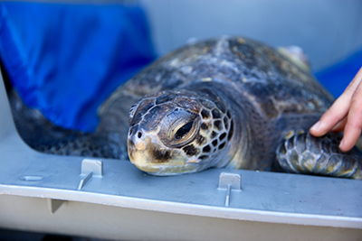Green sea turtle laying in gray plastic kennel on top of blue pad while resting head on kennel opening.