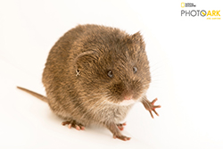 Small brown rodent on white background