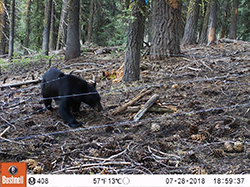 Trail cam photo of black bear in wooded area approaching barbed wire fence