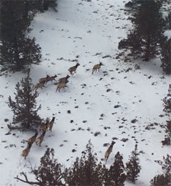 overhead view of 7 elk running in the snow with trees