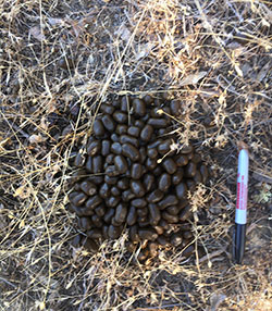 Elk scat in weeds and dirt next to a sharpie pen for size reference