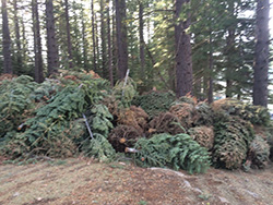 Large pile of old christmas trees on dirt with live tree forest in background.