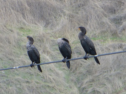 Three double-crested cormorrants roosting on a wire.