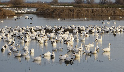 Large flock of snow geese resting in a wetland.
