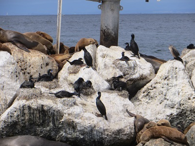 Brandt's cormorants and California sea lions resting on an rock jetty.