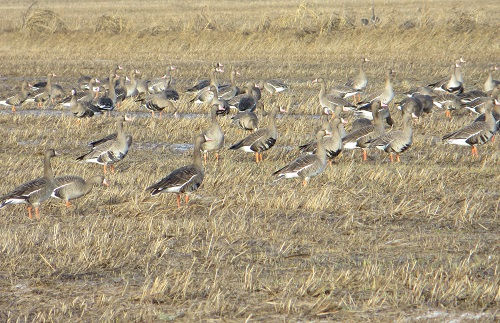A flock of greater white fronted geese feeding on waste grain.