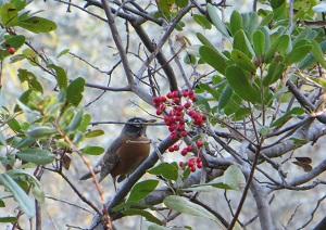 American robin feeding on red toyon berries.