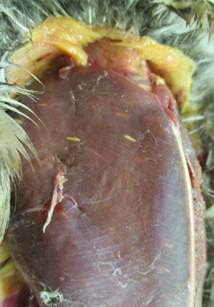 California towhee with visible sarcocysts in the breast muscle.