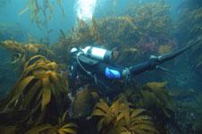 Kelp and Scuba Diver
