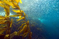 Kelp and Sardines